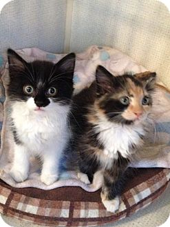 Calico Kitten for adoption in Hamilton, New Jersey - LAURIE aka Chloe