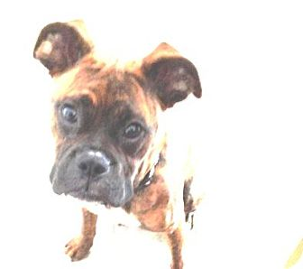 Boxer Dog for adoption in Turnersville, New Jersey - Bear is Adopted!