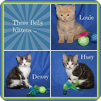 Domestic Shorthair Kitten for adoption in Marietta, Ohio - Huey Dewey & Louie