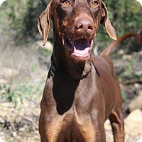 Adopt A Pet :: Scarlet - Fillmore, CA