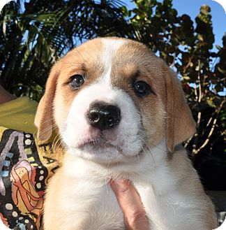 American Bulldog/St. Bernard Mix Puppy for adoption in West Palm Beach, Florida - Chocolate