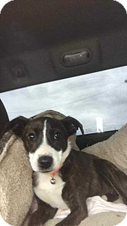 Anatolian Shepherd Mix Puppy for adoption in McCurtain, Oklahoma - TOOTS