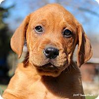 Adopt A Pet :: Jack Daniels - Bedford, VA