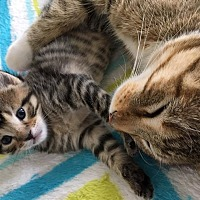 Adopt A Pet :: Maya - Gilberts, IL