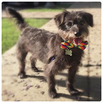 Terrier (Unknown Type, Small) Mix Dog for adoption in Glendale, California - BILBO
