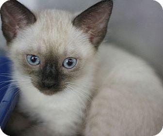 Siamese Kitten for adoption in Canoga Park, California - Asia