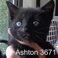 Adopt A Pet :: Ashton - Manassas, VA