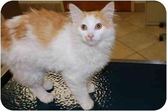 Turkish Van Kitten for adoption in Putnam Hall, Florida - Lonnie