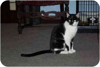 Domestic Shorthair Cat for adoption in Jeffersonville, Indiana - Mimi