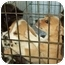 Photo 2 - Terrier (Unknown Type, Medium)/Chow Chow Mix Puppy for adoption in North Judson, Indiana - Puppies