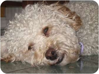 Poodle (Miniature) Mix Dog for adoption in Rigaud, Quebec - Lenny