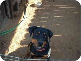 Rottweiler Dog for adoption in West Los Angeles, California - Roxy