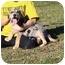 Photo 2 - Australian Shepherd Mix Puppy for adoption in Hagerstown, Maryland - Twister