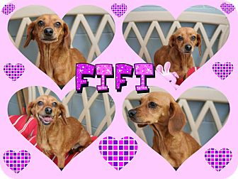 Dachshund Mix Dog for adoption in Tampa, Florida - Fifi