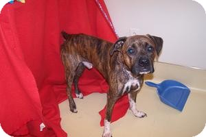 Boxer Dog for adoption in Greenfield, Indiana - Banjo