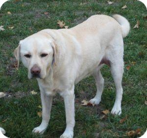 Labrador Retriever Dog for adoption in San Francisco, California - Baker