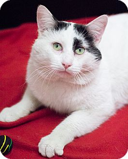 Domestic Shorthair Cat for adoption in Chicago, Illinois - Tank