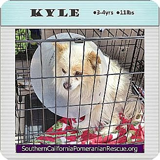 Pomeranian Dog for adoption in Irvine, California - Kyle
