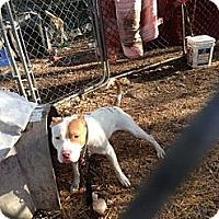 Adopt A Pet :: RUGER - Wanaque, NJ