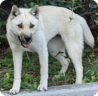 German Shepherd Dog/Shiba Inu Mix Puppy for adoption in Los Angeles, California - Inca von Garrett
