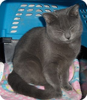 Domestic Shorthair Kitten for adoption in Richmond, Virginia - Lillie