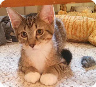 Domestic Shorthair Kitten for adoption in E. Claridon, Ohio - CHASE