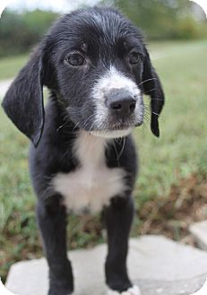 Border Collie/Hound (Unknown Type) Mix Dog for adoption in Bluemont, Virginia - JUDSON