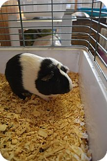 Guinea Pig for adoption in Broadway, New Jersey - Oreo