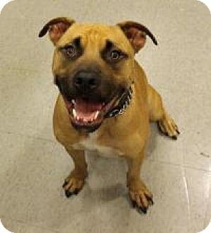 Pit Bull Terrier/Shepherd (Unknown Type) Mix Dog for adoption in Stafford, Virginia - Freddy