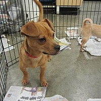 Terrier (Unknown Type, Medium)/Chihuahua Mix Dog for adoption in Fresno, California - Roman