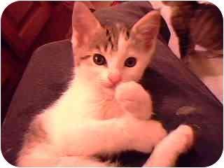 Siamese Kitten for adoption in Tracy, California - Andrea-PENDING