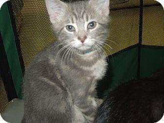 Domestic Shorthair Kitten for adoption in Medina, Ohio - Cloudy
