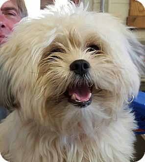 Yorkie, Yorkshire Terrier Mix Dog for adoption in Middletown, New York - Emma
