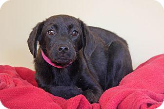 Labrador Retriever Mix Puppy for adoption in Waldorf, Maryland - Sasha
