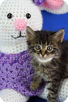 Domestic Mediumhair Kitten for adoption in Carencro, Louisiana - Cheshire