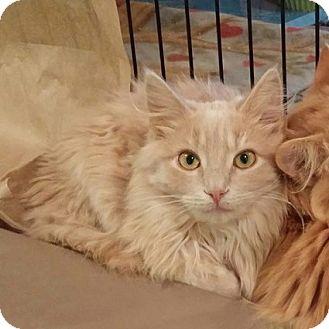 Domestic Mediumhair Kitten for adoption in Colmar, Pennsylvania - Smith
