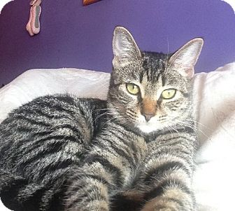 Domestic Shorthair Cat for adoption in Corona, California - MIKA