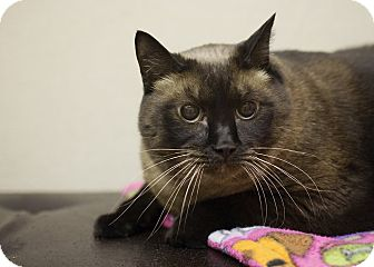Siamese Cat for adoption in Sterling, Kansas - Juliet