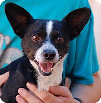 Chihuahua Mix Dog for adoption in Las Vegas, Nevada - Vincenzo