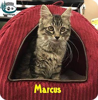 Domestic Mediumhair Kitten for adoption in Huntsville, Ontario - Marcus - Adopted FTA Sept 2016