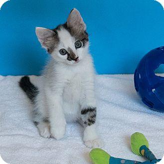 Domestic Mediumhair Kitten for adoption in Houston, Texas - Idriss