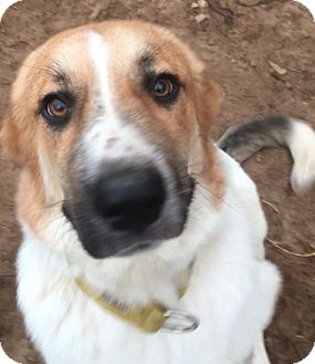 Great Pyrenees/St. Bernard Mix Puppy for adoption in Sylacauga, Alabama - Tucker