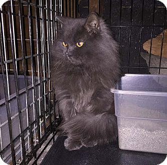 Persian Cat for adoption in Lombard, Illinois - Tuttle