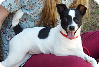 Chihuahua/Papillon Mix Puppy for adoption in Niagara Falls, New York - Bellablue (8 lb) Happy Girl!