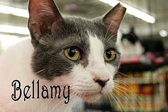 Domestic Shorthair Cat for adoption in Wichita Falls, Texas - Bellamy