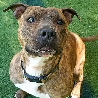 American Pit Bull Terrier/Pit Bull Terrier Mix Dog for adoption in Huntington, New York - Nala
