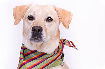 Labrador Retriever Mix Dog for adoption in New Castle, Pennsylvania - Marilyn