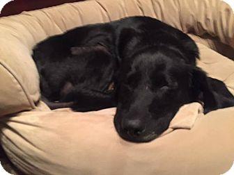 Labrador Retriever Dog for adoption in Jay, New York - Ava