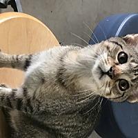 Adopt A Pet :: Feline Ariel (2) - Remus, MI