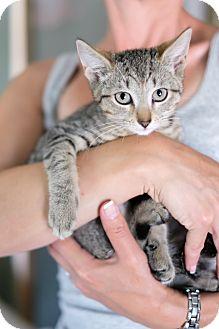 Domestic Shorthair Kitten for adoption in Staten Island, New York - Max
